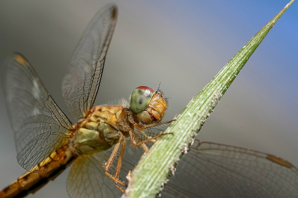 dragon fly real fishing trout fly tying
