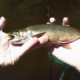 Nice Brook Trout Caught Skating Caddis Fly Pattern